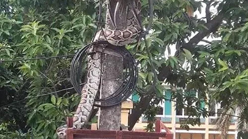 Trăn 'khủng' vắt vẻo trên cột điện ở Phú Thọ đã bị người dân làm thịt